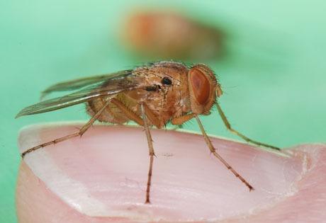 mosca parassita