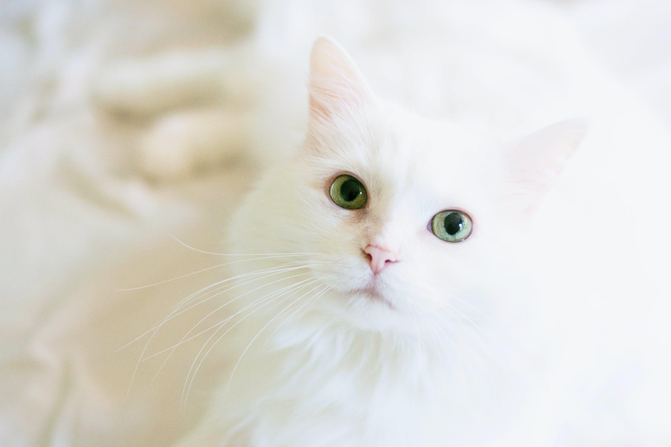 gatto colore bianco