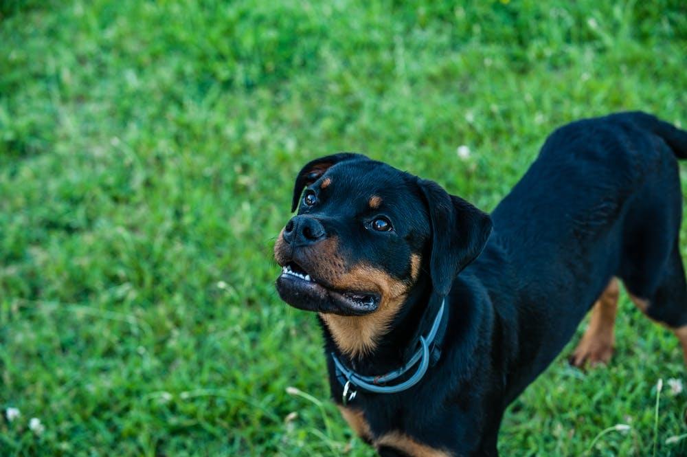 rottweiler sordità